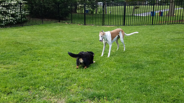 image of Zelda the Black and Tan Mutt play-bowing at Dudley the Greyhound in the backyard