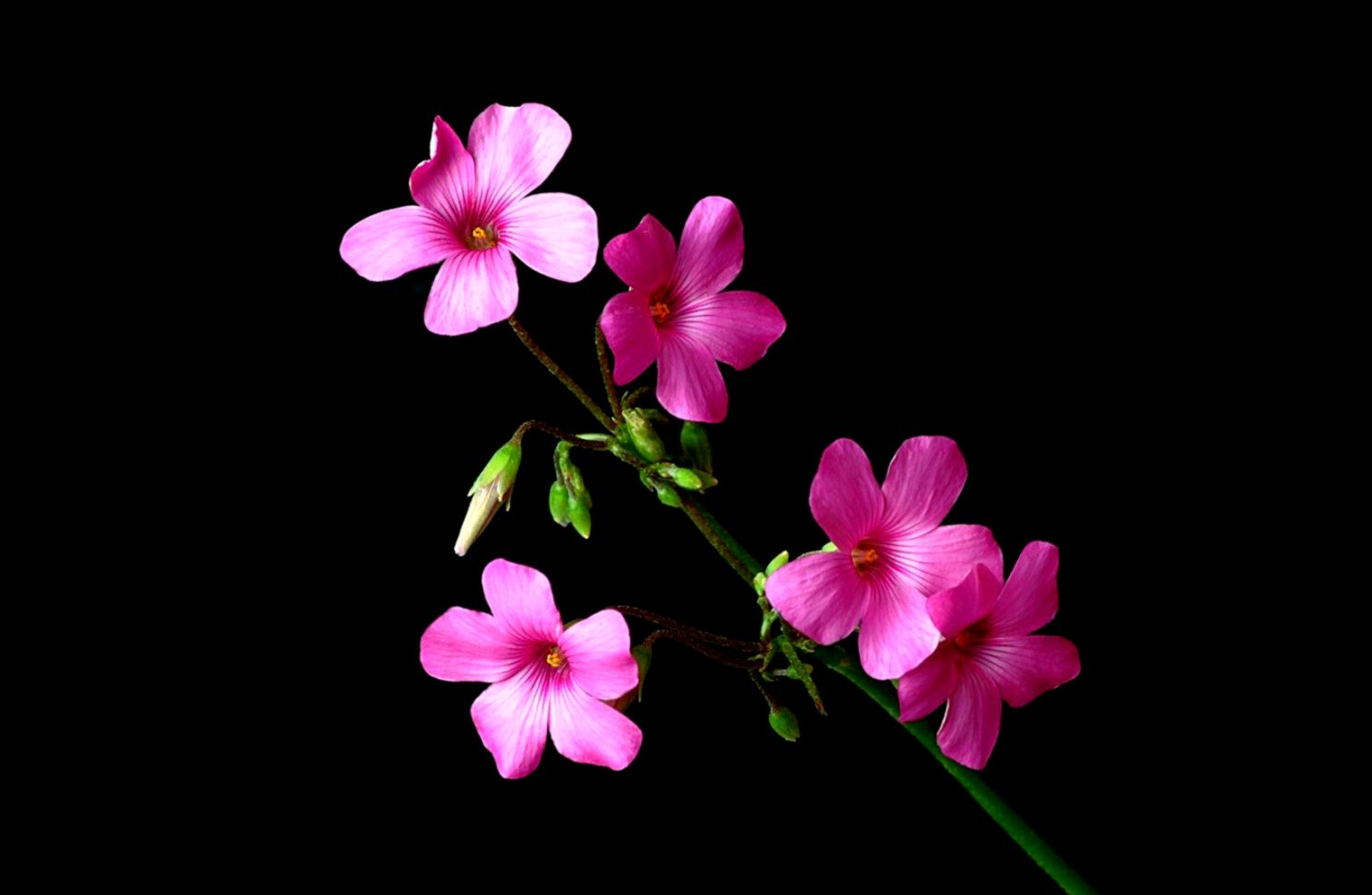 Pink And Black Flower Wallpaper Wallpapers Image