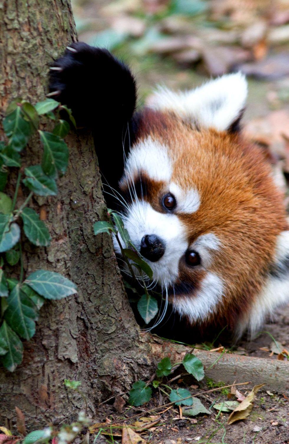 Super Cute Baby Pandas Wallpapers Turret