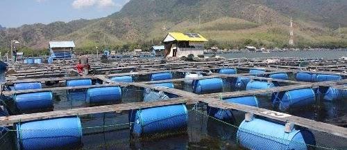 Teknik Budidaya Kerapu di Kolam Tambak Air Payau dan Tawar