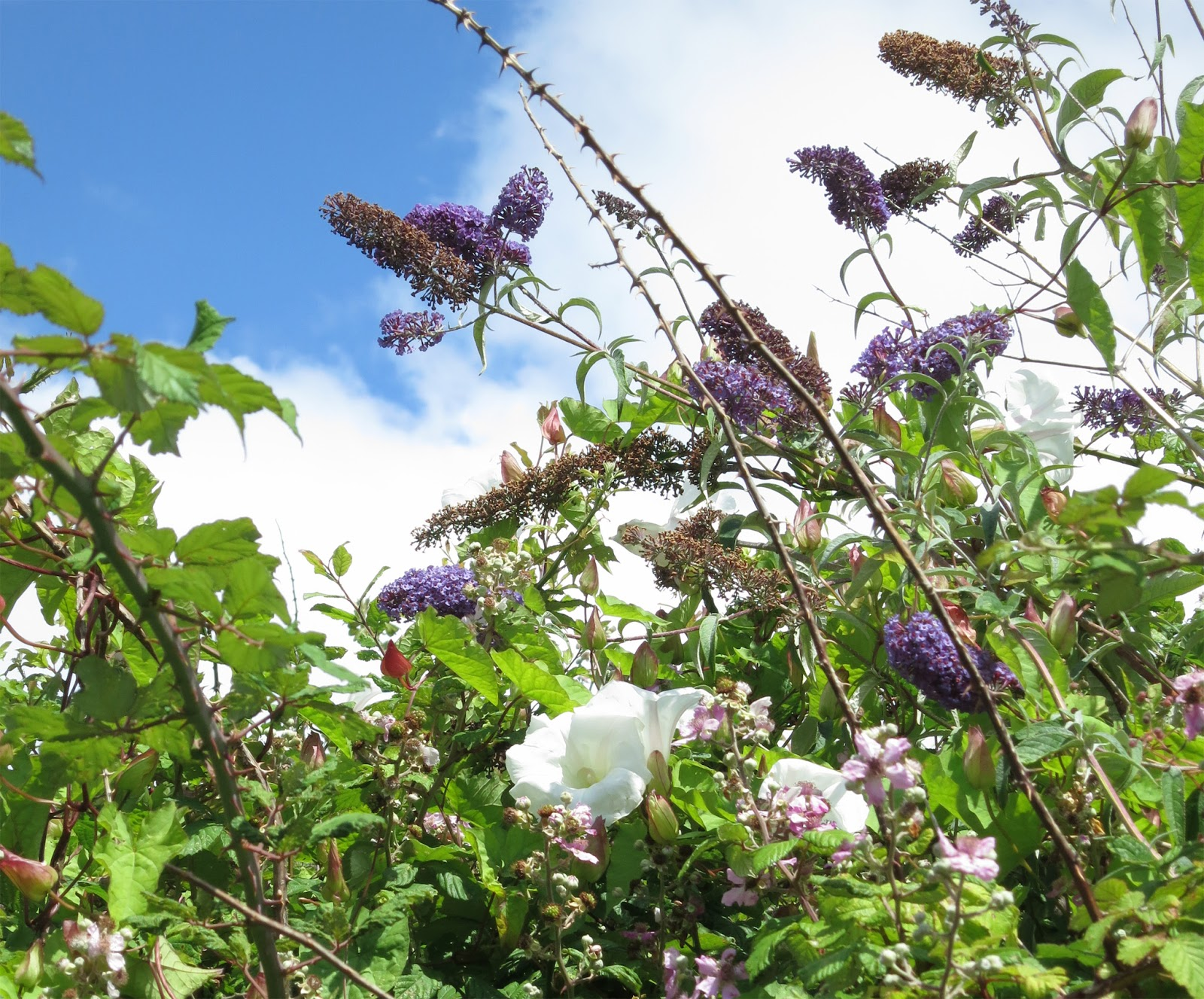 Purple buddleia flowers and white bindweed flowers with bramble stems and blue sky