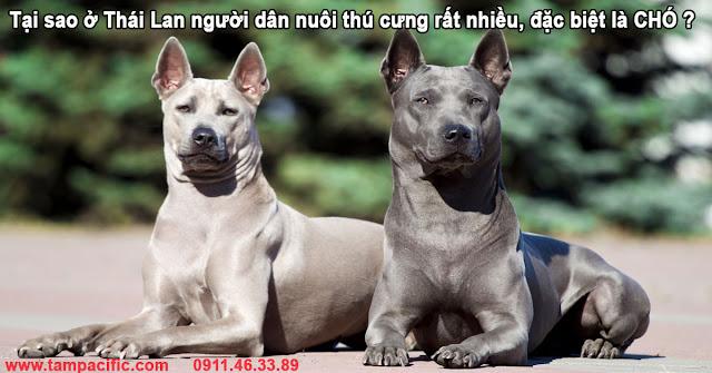 Tại sao ở Thái Lan người dân nuôi thú cưng rất nhiều, đặc biệt là CHÓ ?