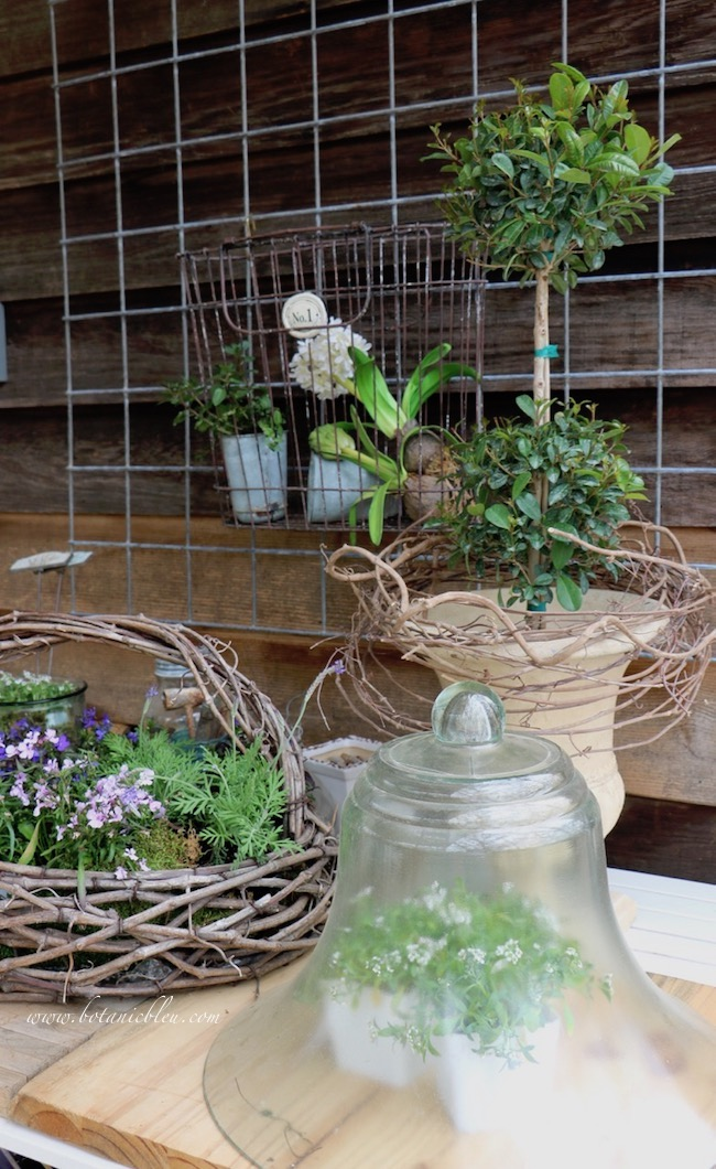 spring potting bench flowers in rustic basket, under cloche, topiary