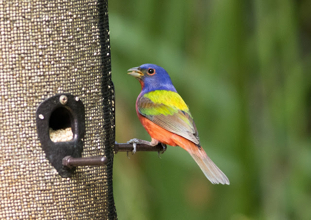 Painted Bunting - Florida