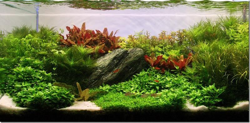 Cây liễu thơm trong một hồ thủy sinh