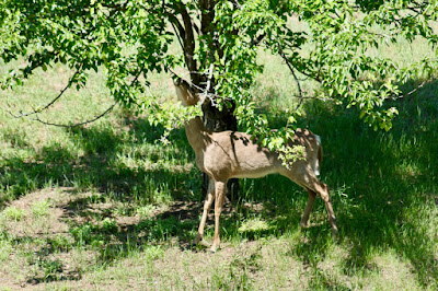 yearling noshing on pear tree