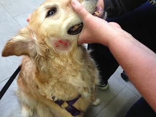 Pioderma kod psa Panvet veterinarska ambulanta Subotica