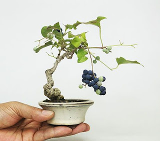 bonsai mini1