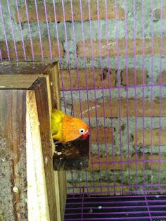 Telur Lovebird Dimakan atau Dibuang Induknya