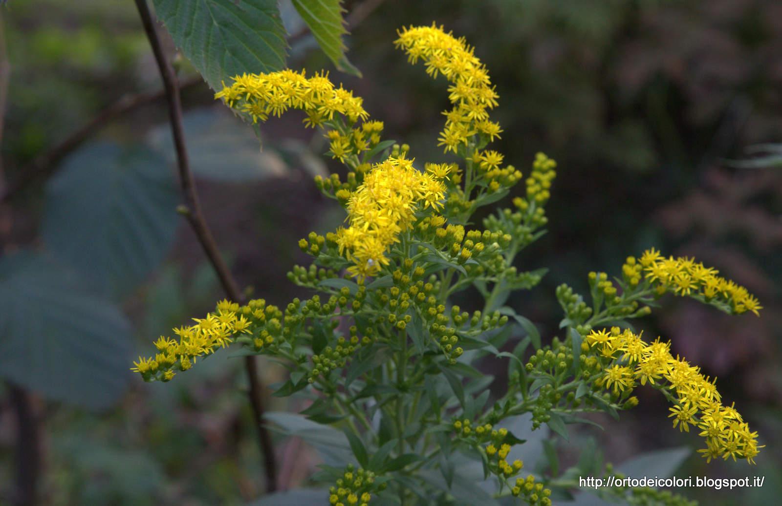L 39 orto dei colori fiori gialli di fine estate - Settembrini fiori ...