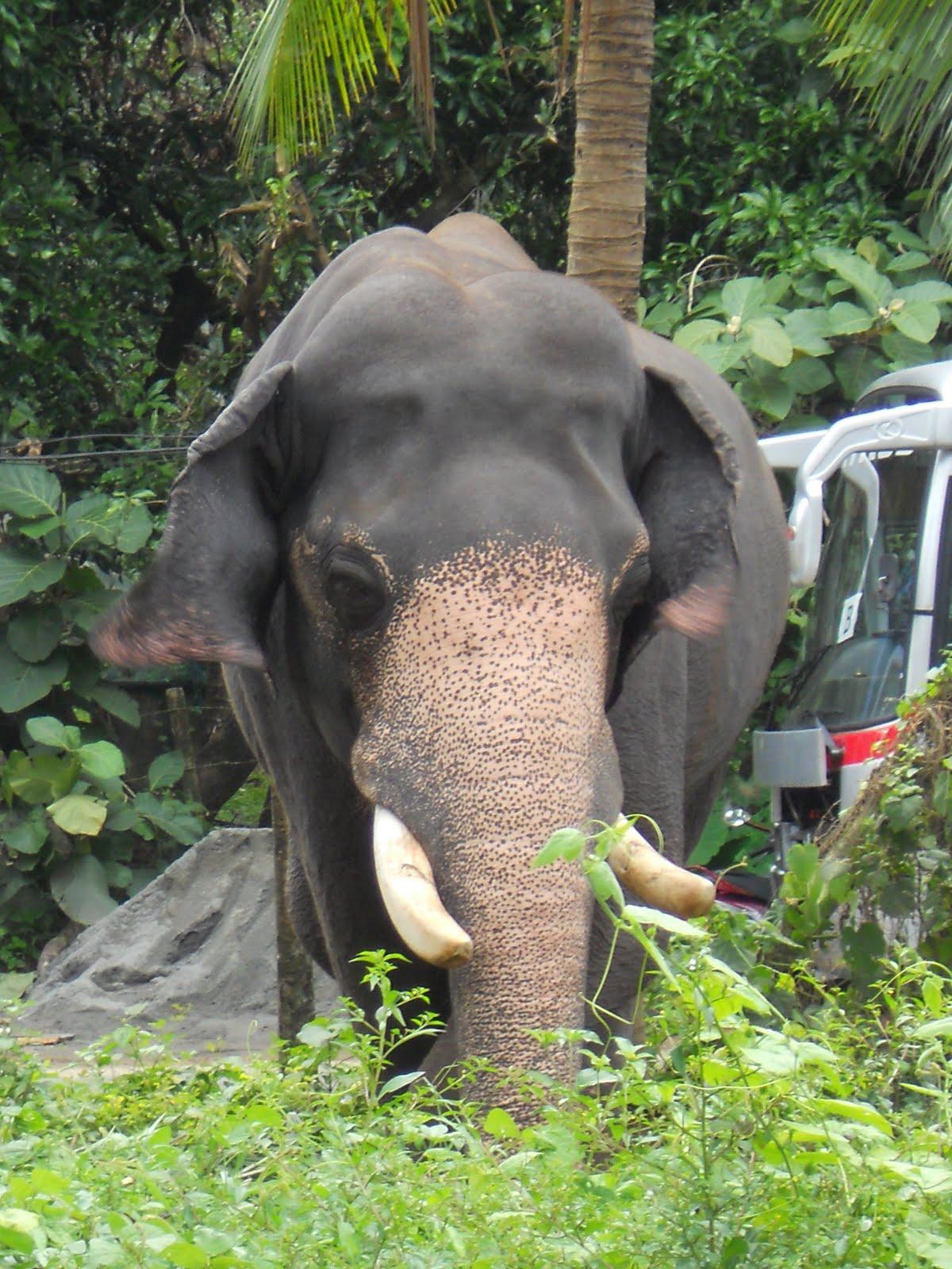 wallpapers name: Elephants in kerala