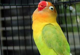 Daftar Harga Kandang Lovebird Murah Saat Ini 2018 Terlengkap Dan Terbaru