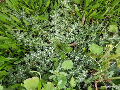 Σκολυμος-Scolymus hispanicus L.