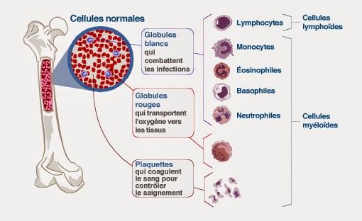 hématopoièse