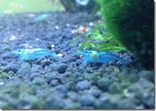 Cách nuôi Blue Rili - Tép cảnh Rili xanh