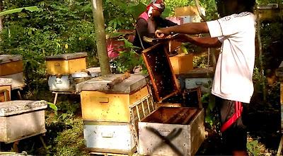 madu, madu blitar, penjua madu blitar, supplier madu blitar, tempat jual madu di bitar, tempat beli madu di blitar, supplier madu di blitar, harga madu asli murni blitar, pusat madu asli di blitar, madu asli murni blitar, peternak lebah blitar