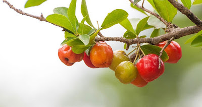 Are You Missing Out on the Benefits of Acerola?