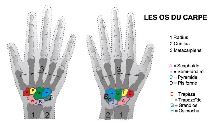 anatomie os du carpe main ostéologie infirmier