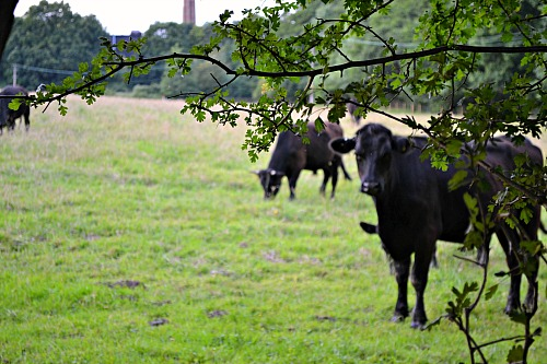 cows in the countryside