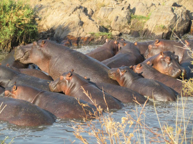Hippos in search of the last suitable water pools