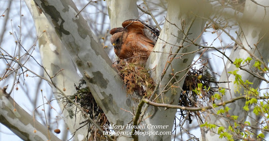 Seasons Ending With Red-Shouldered Hawks of Tingsgrove and Beyond~