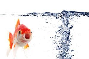 japon balığı su içer mi