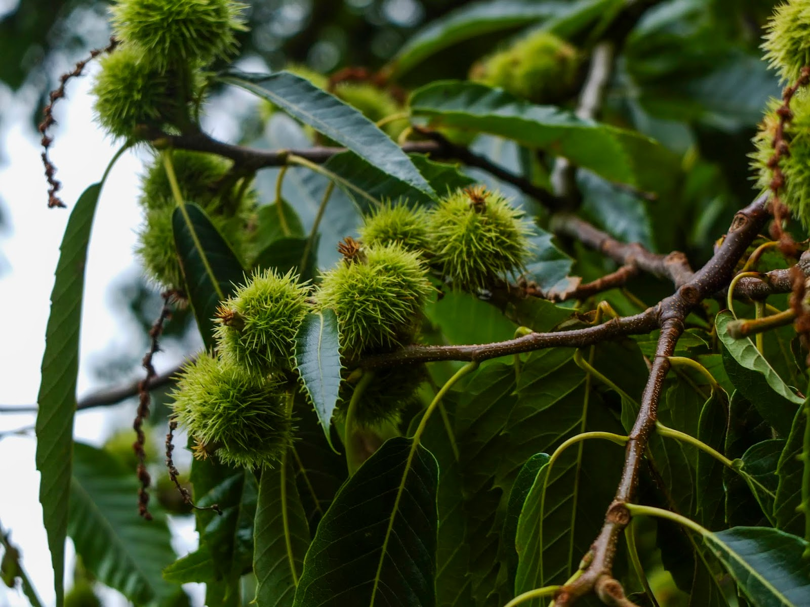 Green chestnut burrs growing on branches.