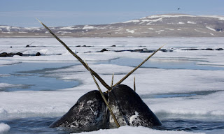 Narwhal 12