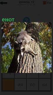 С верху вниз на дереве ползет енот, перебирая лапами