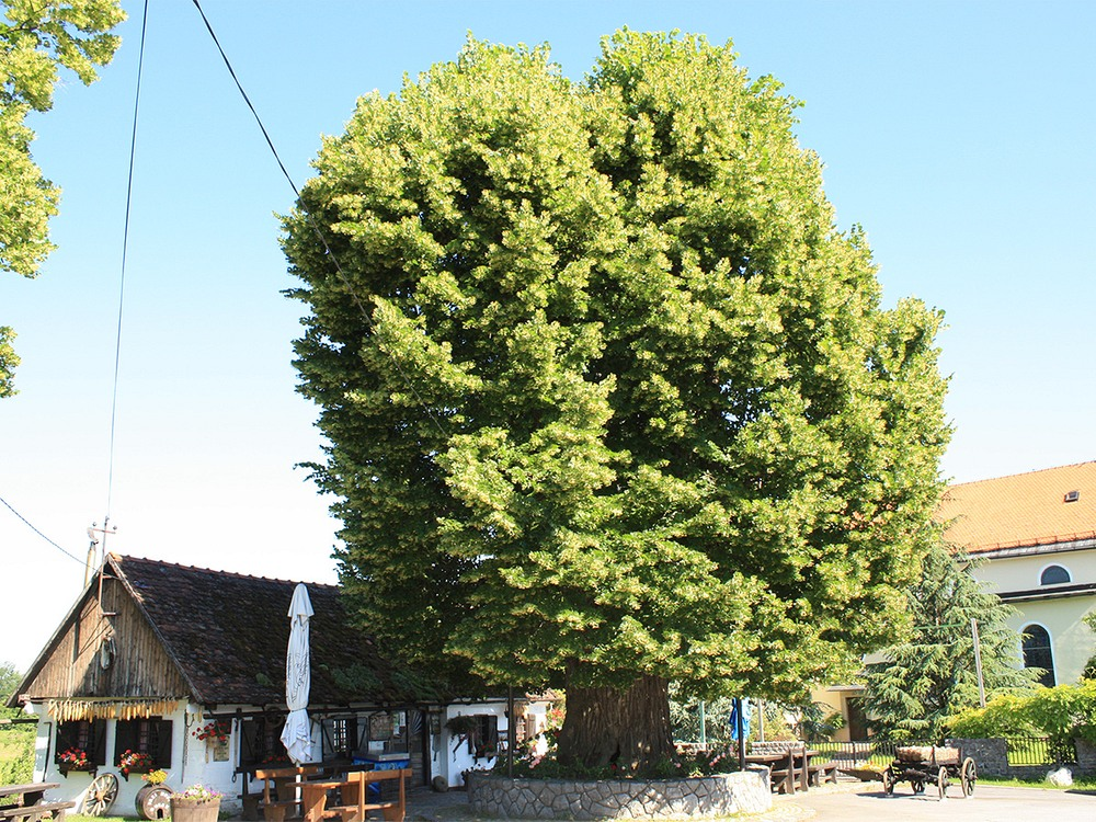 european-tree-of-the-year-3