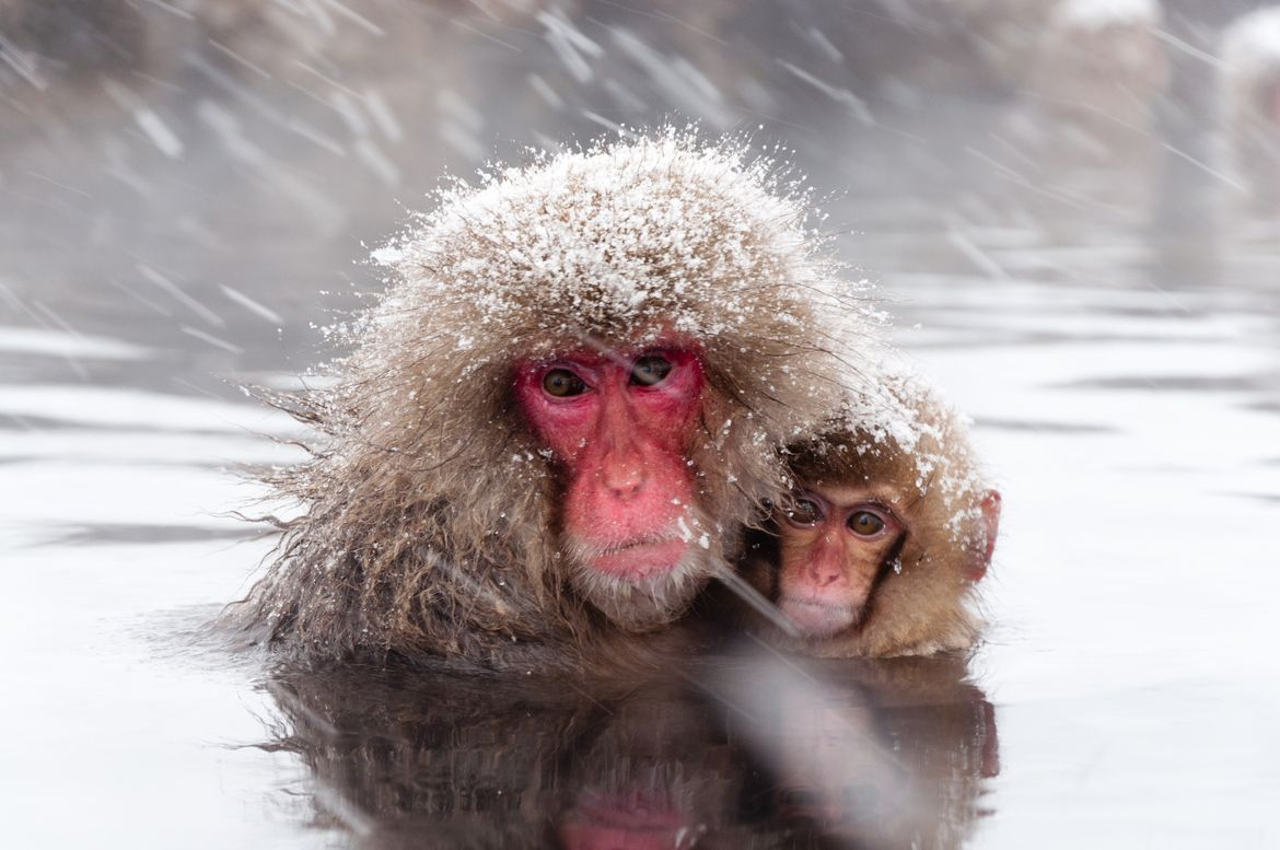 20. Photograph Snow Monkey by Gen H