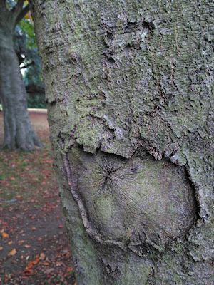 Eye in the bark of a beech trunk