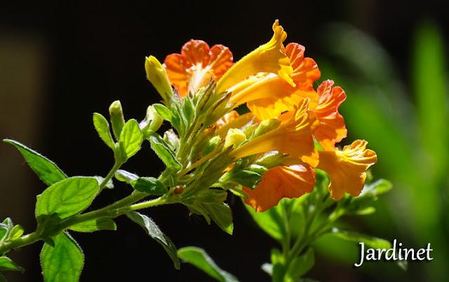 Marianinha, Streptosolen jamesonii, atrativa para beija-flores!