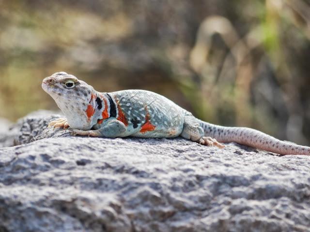 Un collared lizard femelle : Crotaphytus collaris .Vit dans les canyons et les bois ouverts