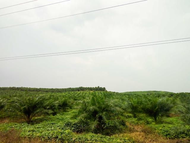 Kebun sawit di Padang Lawas, Sumatera Utara
