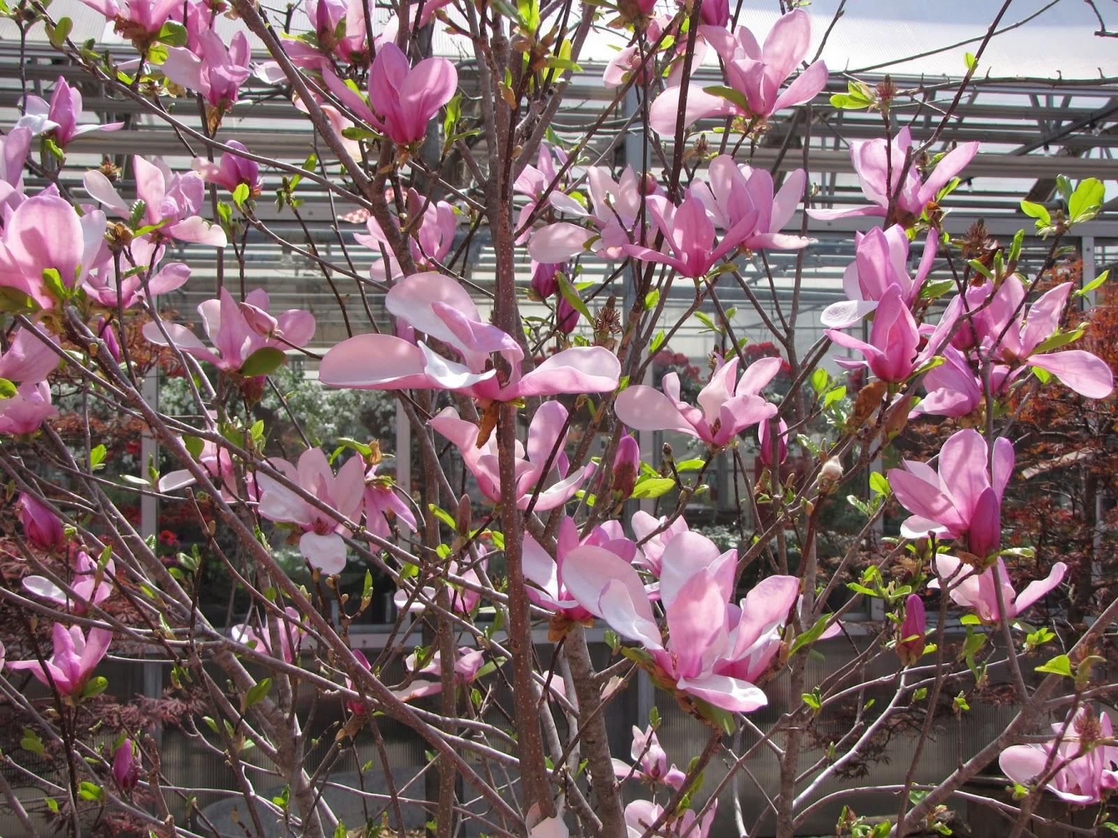Tulsa Gentleman Macro Monday Pink Magnolia