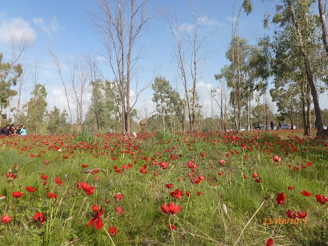 דרום אדום - פריחות ביער שוקדה