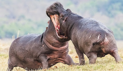 dua kuda nil jantan besar bertarung