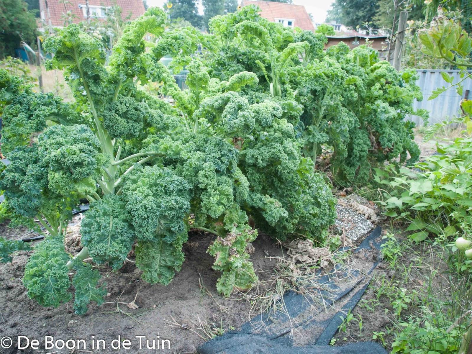 boerenkool augustus moestuin volkstuin oogst