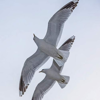 Larus canus in flight