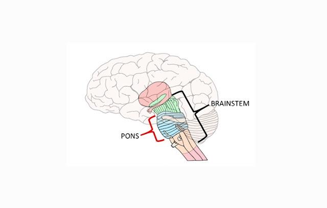 Pons adalah bagian otak salah satu bagian dari batang otak yang terletak di atas medula o Pons Otak : Pengertian, Struktur, Fungsi