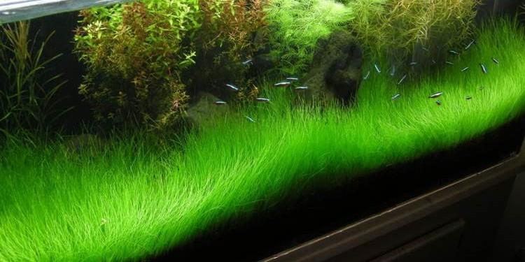 Mbak Say Aquascape Mini Hair Grass Seed