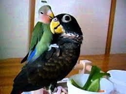 Asal Usul Lovebird Warna Eksotis