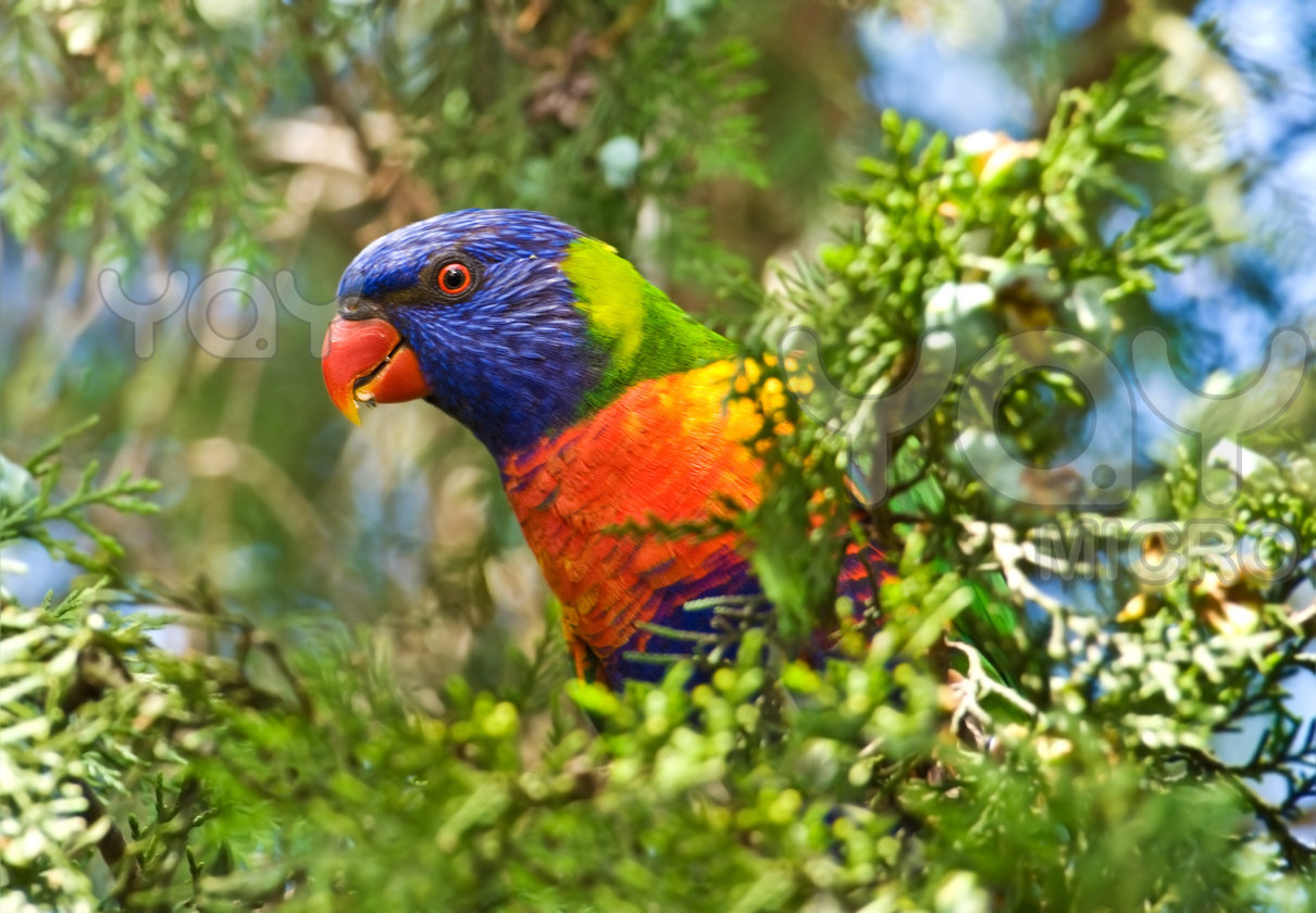 Rainbow Lorikeet Parrot New Wallpapers HD 2012 ...