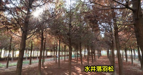 台中新社|水井落羽松|新社落羽松秘境|森林中隱藏著白色小木屋