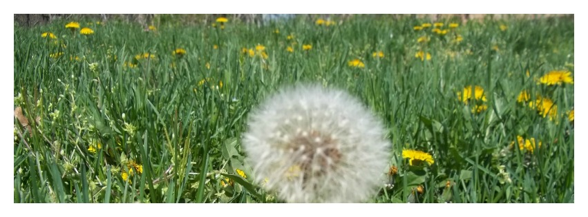 Dandelion Header for Facebook Page Timeline Wall