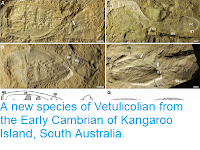 http://sciencythoughts.blogspot.com/2014/11/a-new-species-of-vetulicolian-from.html