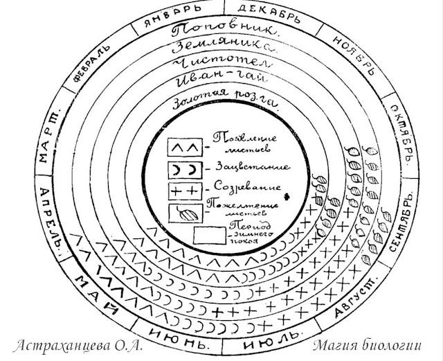 циклограмма фенофазы Алёхин чистотел земляника Иван чай