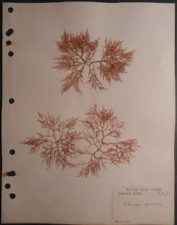 Algae sample from Woods Hole, 1929