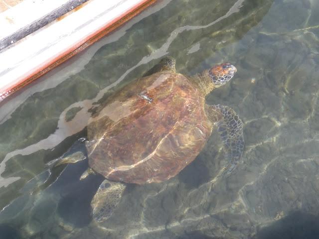 Tortuga en el puerto de Isla de Pascua